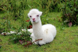 A white fluffy alpaca with pink nose sat in a field with lots of green plants around it.