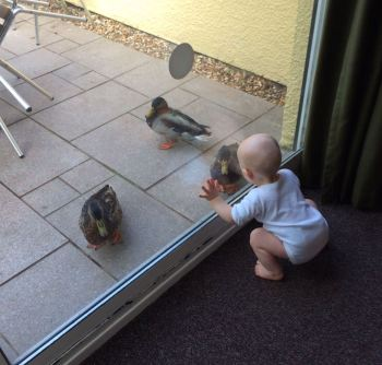 TM (bald 10 month old, male baby in a long sleeve white vest) is crouching by a patio door next to a green curtain. There are 3 ducks right outside the door on the patio and TM has his hands pressed against the glass.